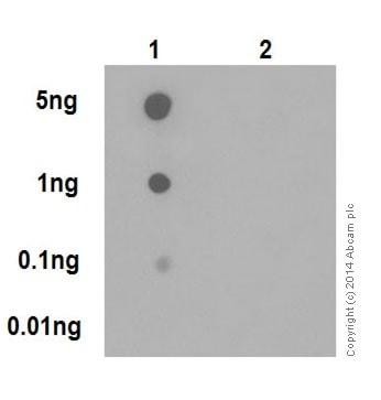 Dot Blot - Anti-JunD (phospho S100) + c-Jun (phospho S73) antibody [EPR16586] (ab178858)
