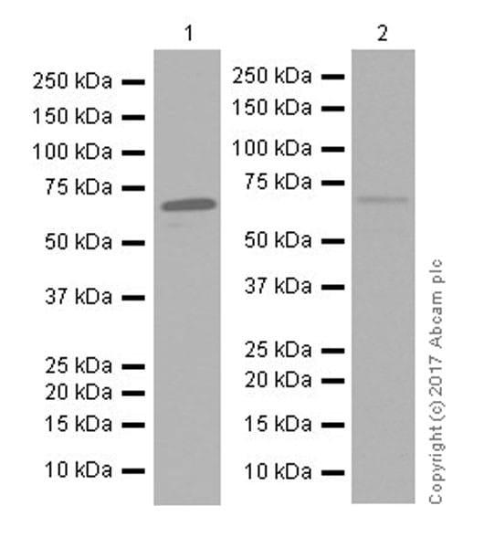Western blot - Anti-PPAR gamma antibody [EPR18516] (ab178860)