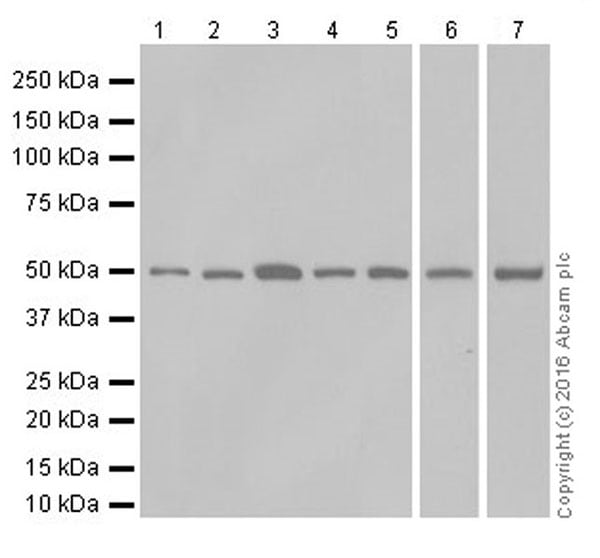 Western blot - Anti-PPAR alpha + PPAR beta/delta antibody [EPR16673(2)] (ab178865)