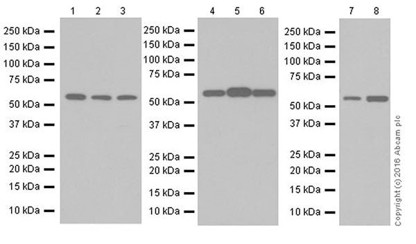 Western印迹-抗PPARδ抗体[EPR18517](AB17866)
