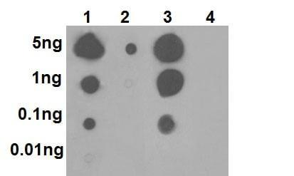 Dot Blot - Anti-p38 (phospho T180) antibody [EPR16587] (ab178867)