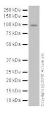 Western blot - Anti-Oct-1 antibody [EPR16570] (ab178869)
