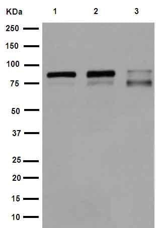 Western blot - Anti-IKK alpha + IKK beta antibody [EPR16628] (ab178870)