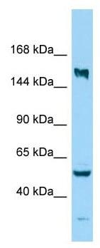 Western blot - Anti-KIF24 antibody - C-terminal (ab178922)