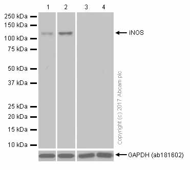 Western blot - Anti-iNOS antibody [EPR16635] (ab178945)