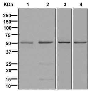 Western blot - Anti-Elav-type RNA-binding protein ETR3 antibody [EPR13374] (ab179447)