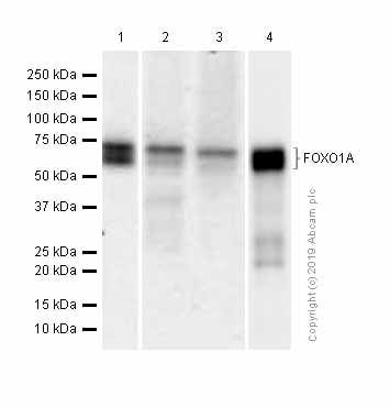 Western blot - Anti-FOXO1A antibody [EPR12020] (ab179450)