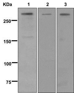 Western blot - Anti-Von Willebrand Factor antibody [EPR12010] (ab179451)
