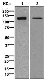 Western blot - Anti-EPB41L1 antibody [EPR11090] (ab179453)