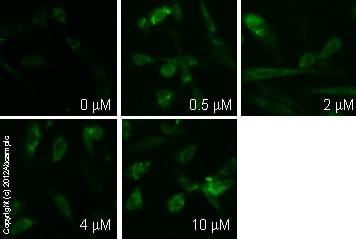 Immunocytochemistry/ Immunofluorescence - Anti-cAMP antibody [EP8471] - BSA and Azide free (ab179459)