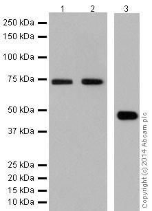 Western blot - Anti-JNK1+JNK2+JNK3 antibody [EPR16797-211] (ab179461)