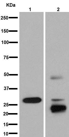 Western blot - Anti-AKT1/2/3 antibody [EPR16798] (ab179463)