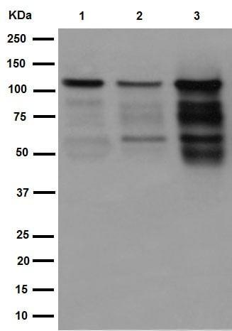 Western blot - Anti-PML Protein antibody [EPR16792] (ab179466)