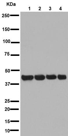 Western blot - Anti-Actin antibody [EPR16769] (ab179467)