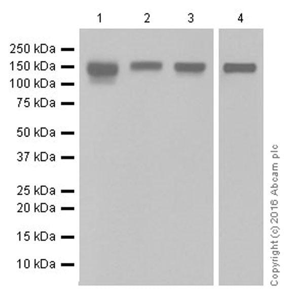 Western blot - Anti-Integrin beta 1 antibody [EPR16896] (ab179472)