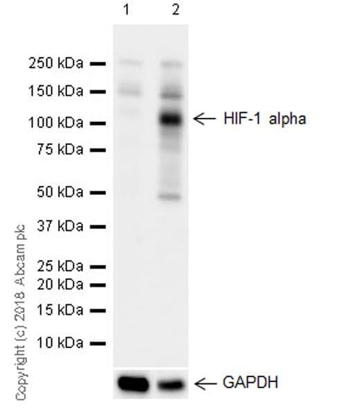Western blot - Anti-HIF-1 alpha antibody [EPR16897] (ab179483)