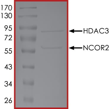 SDS-PAGE - Recombinant human HDAC3+NCOR2 complex protein (ab179493)