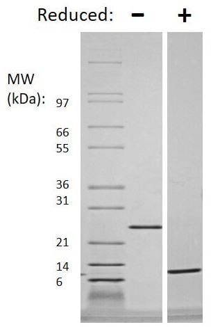 SDS-PAGE - Recombinant human/mouse TGF beta 3 protein (Animal Free) (ab179495)