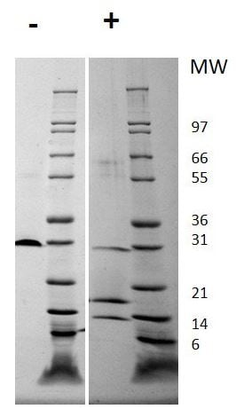 SDS-PAGE - Recombinant human PDGF AB protein (Animal Free) (ab179496)