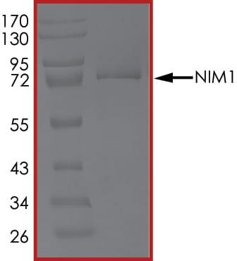 SDS-PAGE - Recombinant human Serine/threonine-protein kinase NIM1  (ab179497)