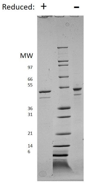 SDS-PAGE - Recombinant human Visfatin protein (ab179498)