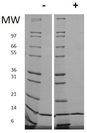 SDS-PAGE - Recombinant human IL-2 protein (Animal Free) (ab179500)