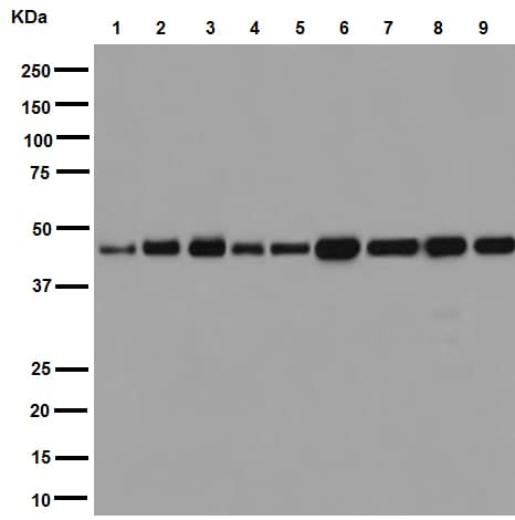 Western blot - Anti-gamma Tubulin antibody [EPR16793] (ab179503)