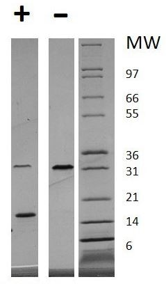 SDS-PAGE - Recombinant human PDGF AA protein (Animal Free) (ab179505)