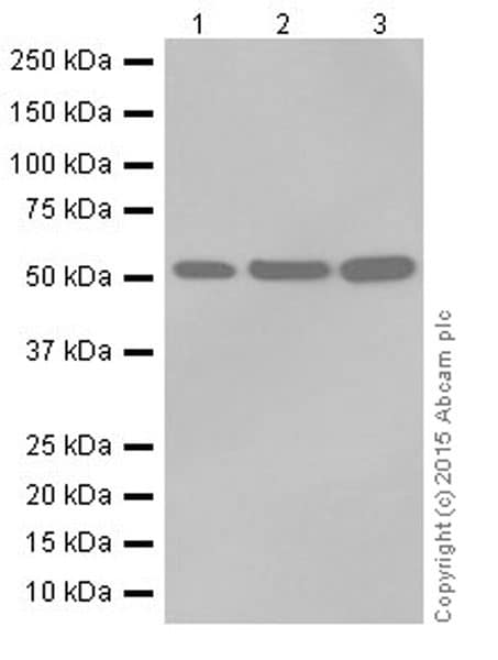 Western blot - Anti-beta IV Tubulin antibody [EPR16776] (ab179509)