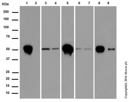 Western blot - Anti-beta II Tubulin antibody [EPR16773] (ab179512)