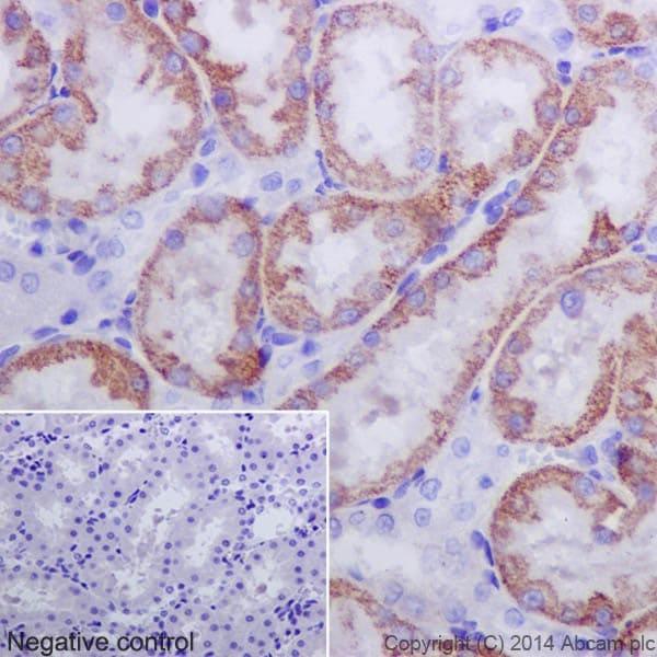 Immunohistochemistry (Formalin/PFA-fixed paraffin-embedded sections) - Anti-Caspase-3 p12 antibody [EPR16888] (ab179517)