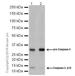 Western blot - Anti-Caspase-3 p12 antibody [EPR16888] (ab179517)