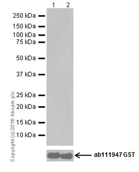 Western blot - Anti-PKC antibody [EPR16898] (ab179522)