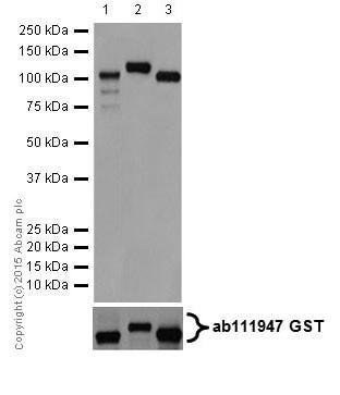 Western blot - Anti-PKC antibody [EPR16791] (ab179523)