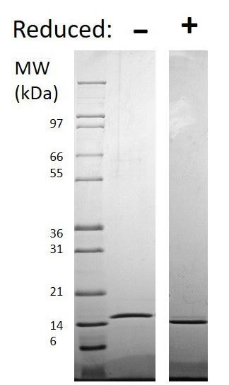 SDS-PAGE - Recombinant human TRAP/CD40L protein (Soluble, Animal Free) (ab179625)