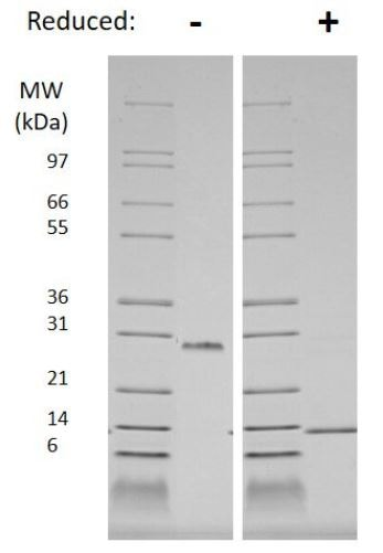 SDS-PAGE - Recombinant human PDGF B protein (Animal Free) (ab179626)