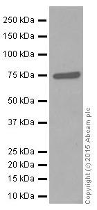 Western blot - Anti-COX2 / Cyclooxygenase 2 antibody [EPR12012] (ab179800)
