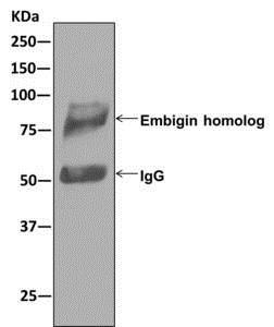 Immunoprecipitation - Anti-Embigin homolog antibody [EPR11417] (ab179801)