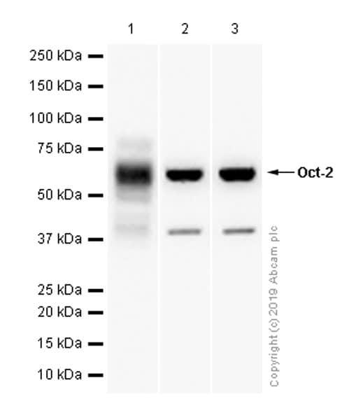 Western blot - Anti-Oct-2 antibody [EPR12482] (ab179808)