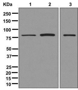 Western blot - Anti-SEC23A antibody [EPR13270(B)] (ab179811)