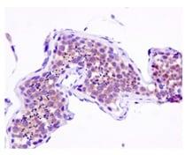 Immunohistochemistry (Formalin/PFA-fixed paraffin-embedded sections) - Anti-MCJ antibody [EPR12823] (ab179820)