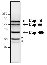 Western blot - Anti-NUP98 antibody [13C2] - BSA and Azide free (ab179894)
