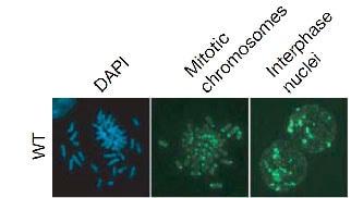 Immunocytochemistry/ Immunofluorescence - Anti-5-methylcytosine (5-mC) antibody [5MC-CD] (FITC) (ab179898)