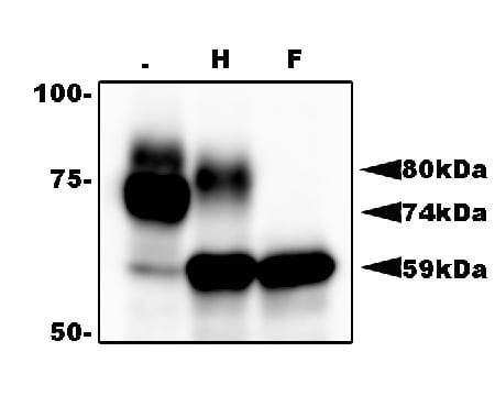 Western blot - Anti-HHV6AgQ1 antibody [119] - BSA and Azide free (ab179902)