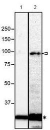 Western blot - Anti-NUP98 antibody [21A10] - BSA and Azide free (ab179909)