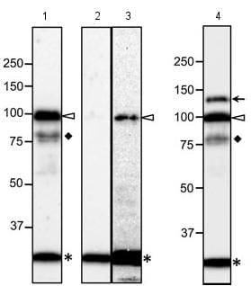 Western blot - Anti-NUP98 antibody [13C2 + 21A10] - BSA and Azide free (ab179911)