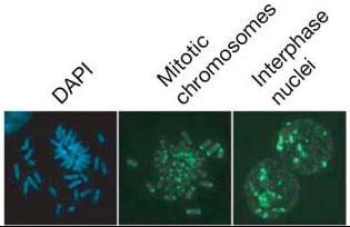 Immunocytochemistry/ Immunofluorescence - Anti-5-methylcytosine (5-mC) antibody [5MC-CD] - Azide free (Biotin) (ab179914)
