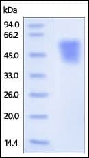 SDS-PAGE - Recombinant Human ICAM2 protein (ab179971)