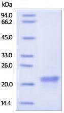 SDS-PAGE - Recombinant Human Cyclophilin B protein (ab179977)