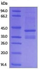 SDS-PAGE - Recombinant Human IgG4 heavy chain protein (ab179983)